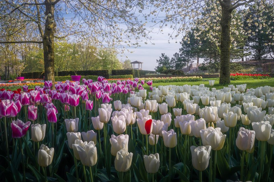 Tulipanes de Keukenhof by Albert Dros